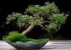 teach you to make Bonsai trees