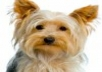 do a video review while holding my pure Bread akc registered 4 month yorkie